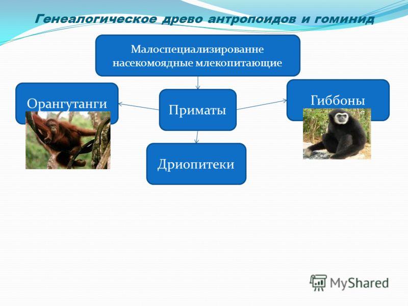Генеалогическое древо антропоидов и гоминид Малоспециализированне насекомоядные млекопитающие Приматы Орангутанги Дриопитеки Гиббоны