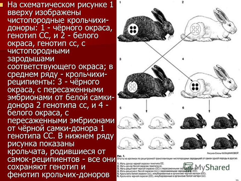 На схематическом рисунке 1 вверху изображены чистопородные крольчихи- доноры: 1 - чёрного окраса, генотип СС, и 2 - белого окраса, генотип сс, с чистопородными зародышами соответствующего окраса; в среднем ряду - крольчихи- реципиенты: 3 - чёрного ок