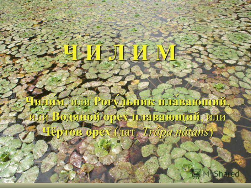 Ч И Л И М Чили́м, или Рогу́льник пла́вающий, или Водяной орех плавающий, или Чёртов орех (лат. Trápa nátans)