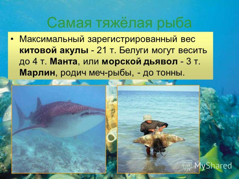 Самая тяжёлая рыба Максимальный зарегистрированный вес китовой акулы - 21 т. Белуги могут весить до 4 т. Манта, или морской дьявол - 3 т. Марлин, родич меч-рыбы, - до тонны.