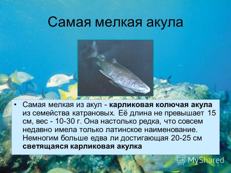 Самая мелкая акула Самая мелкая из акул - карликовая колючая акула из семейства катрановых. Её длина не превышает 15 см, вес - 10-30 г. Она настолько редка, что совсем недавно имела только латинское наименование. Немногим больше едва ли достигающая 2
