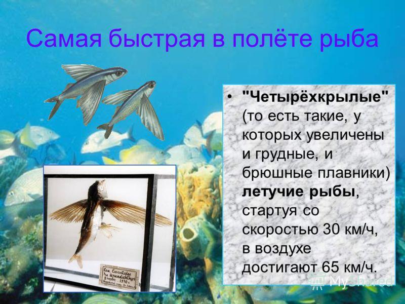 Самая быстрая в полёте рыба Четырёхкрылые (то есть такие, у которых увеличены и грудные, и брюшные плавники) летучие рыбы, стартуя со скоростью 30 км/ч, в воздухе достигают 65 км/ч.