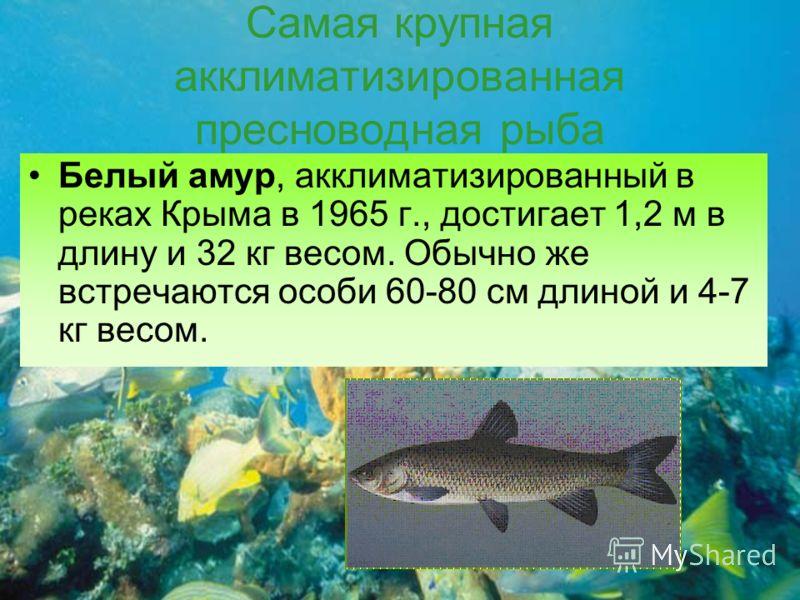 Самая крупная акклиматизированная пресноводная рыба Белый амур, акклиматизированный в реках Крыма в 1965 г., достигает 1,2 м в длину и 32 кг весом. Обычно же встречаются особи 60-80 см длиной и 4-7 кг весом.