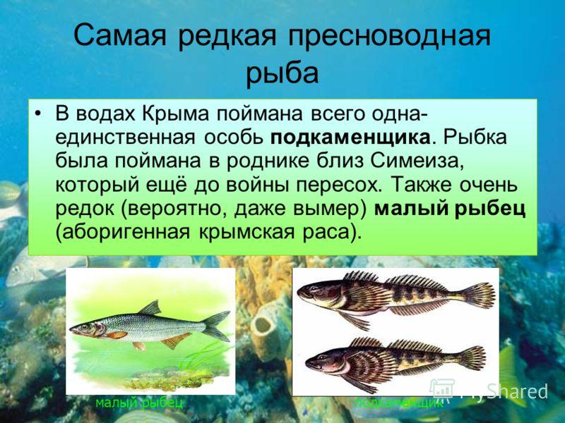 Самая редкая пресноводная рыба В водах Крыма поймана всего одна- единственная особь подкаменщика. Рыбка была поймана в роднике близ Симеиза, который ещё до войны пересох. Также очень редок (вероятно, даже вымер) малый рыбец (аборигенная крымская раса