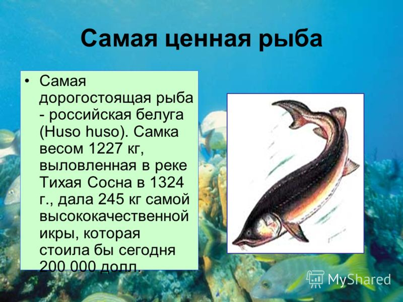 Самая ценная рыба Самая дорогостоящая рыба - российская белуга (Huso huso). Самка весом 1227 кг, выловленная в реке Тихая Сосна в 1324 г., дала 245 кг самой высококачественной икры, которая стоила бы сегодня 200 000 долл.