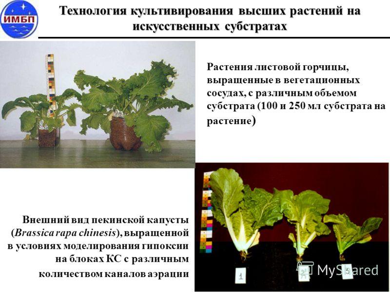 Технология культивирования высших растений на искусственных субстратах Внешний вид пекинской капусты (Brassica rapa chinesis), выращенной в условиях моделирования гипоксии на блоках КС с различным количеством каналов аэрации Растения листовой горчицы