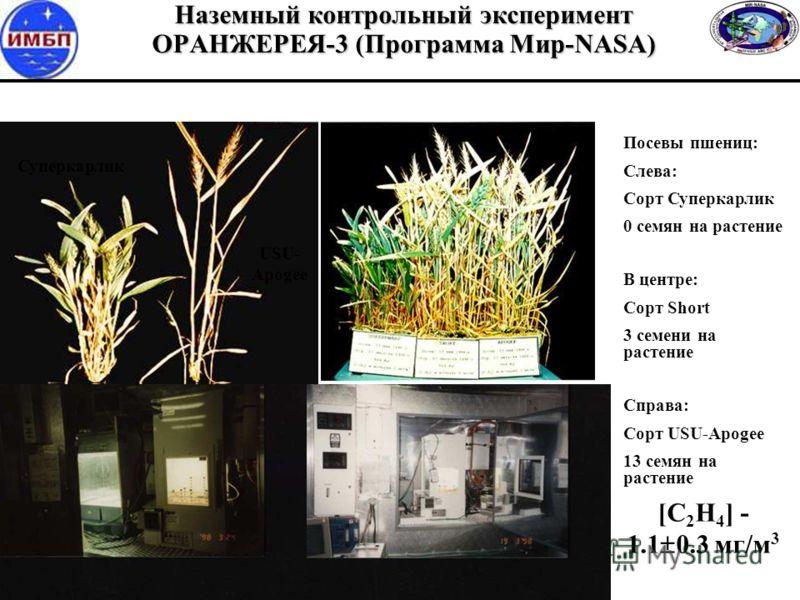 Наземный контрольный эксперимент ОРАНЖЕРЕЯ-3 (Программа Мир-NASA) [C 2 H 4 ] - 1.1 0.3 мг/м 3 Суперкарлик USU- Apogee Посевы пшениц: Слева: Сорт Суперкарлик 0 семян на растение В центре: Сорт Short 3 семени на растение Справа: Сорт USU-Apogee 13 семя