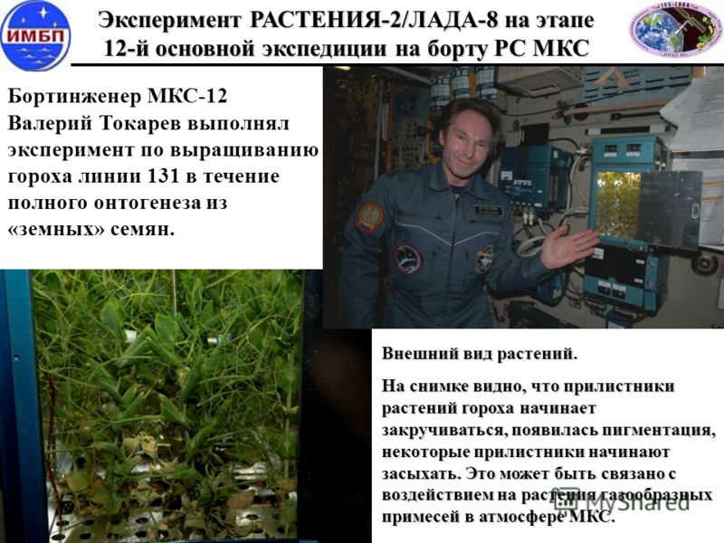 Бортинженер МКС-12 Валерий Токарев выполнял эксперимент по выращиванию гороха линии 131 в течение полного онтогенеза из «земных» семян. Эксперимент РАСТЕНИЯ-2/ЛАДА-8 на этапе 12-й основной экспедиции на борту РС МКС Внешний вид растений. На снимке ви