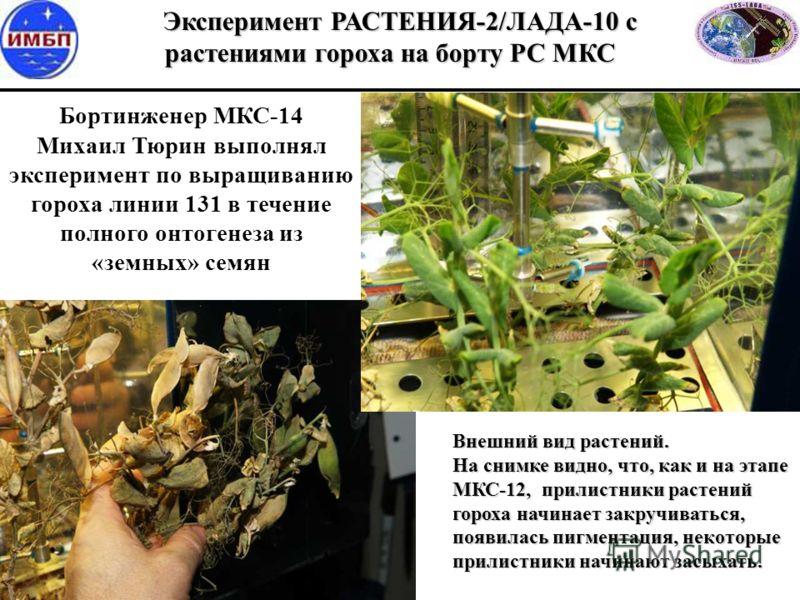 Бортинженер МКС-14 Михаил Тюрин выполнял эксперимент по выращиванию гороха линии 131 в течение полного онтогенеза из «земных» семян Эксперимент РАСТЕНИЯ-2/ЛАДА-10 с растениями гороха на борту РС МКС Эксперимент РАСТЕНИЯ-2/ЛАДА-10 с растениями гороха