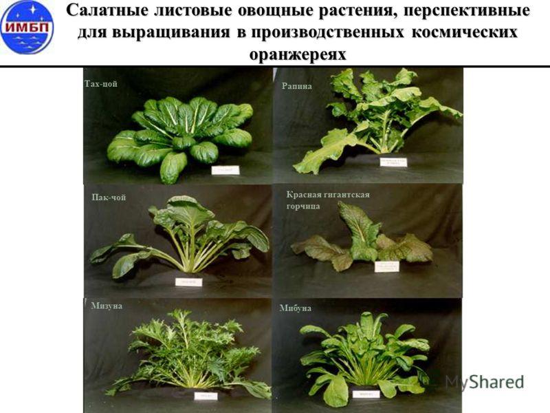 Тах-цой Пак-чой Рапина Красная гигантская горчица Мизуна Мибуна Салатные листовые овощные растения, перспективные для выращивания в производственных космических оранжереях