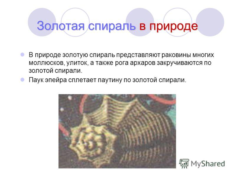 Золотая спираль в природе В природе золотую спираль представляют раковины многих моллюсков, улиток, а также рога архаров закручиваются по золотой спирали. Паук эпейра сплетает паутину по золотой спирали.