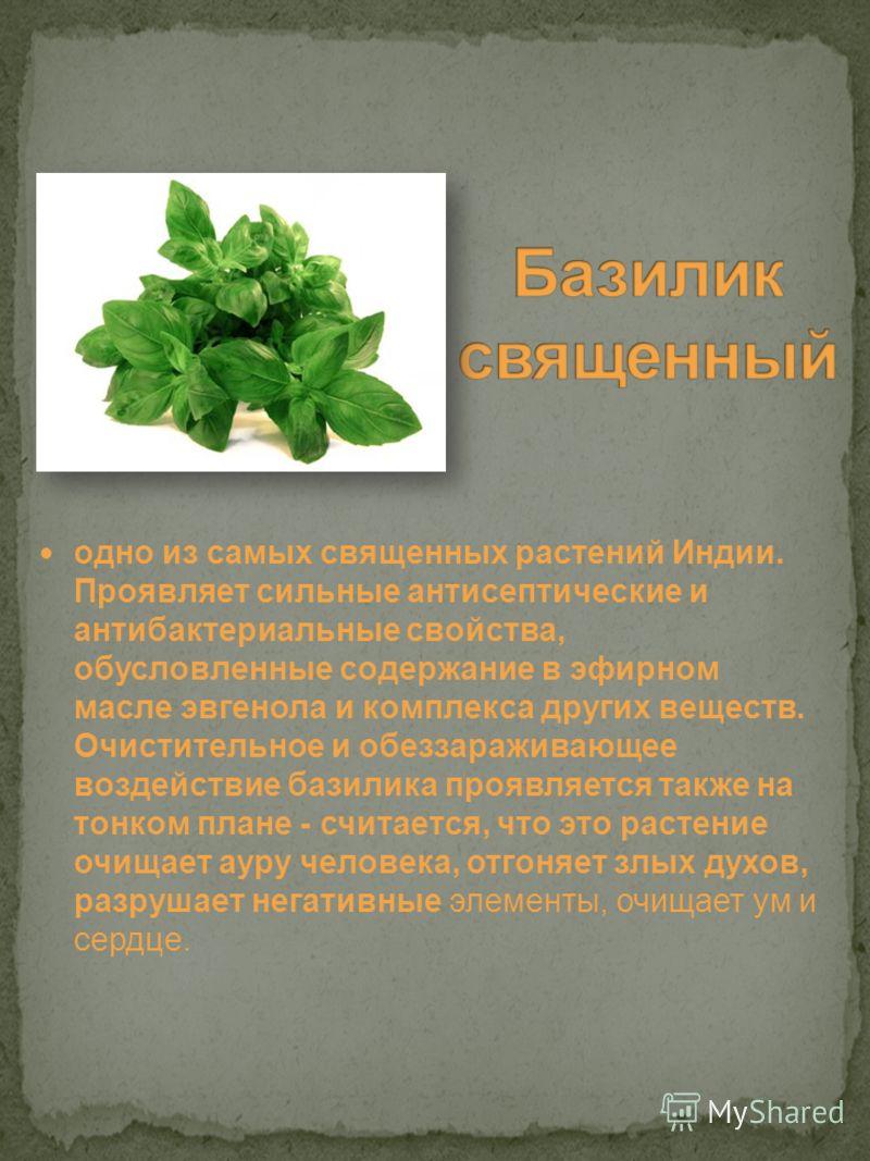 одно из самых священных растений Индии. Проявляет сильные антисептические и антибактериальные свойства, обусловленные содержание в эфирном масле эвгенола и комплекса других веществ. Очистительное и обеззараживающее воздействие базилика проявляется та