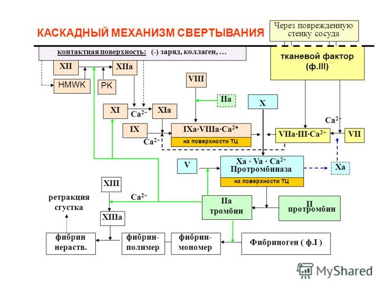 КАСКАДНЫЙ МЕХАНИЗМ СВЕРТЫВАНИЯ контактная поверхность: (-) заряд, коллаген, … тканевой фактор (ф.III) XII XIIa HMWK PKPK XIXIа IX IXa·VIIIa·Ca 2 + VIIVIIa·III·Ca 2+ VIII X V Xa · Va · Ca 2+ Протромбиназа II протромбин IIa тромбин Фибриноген ( ф.I ) ф