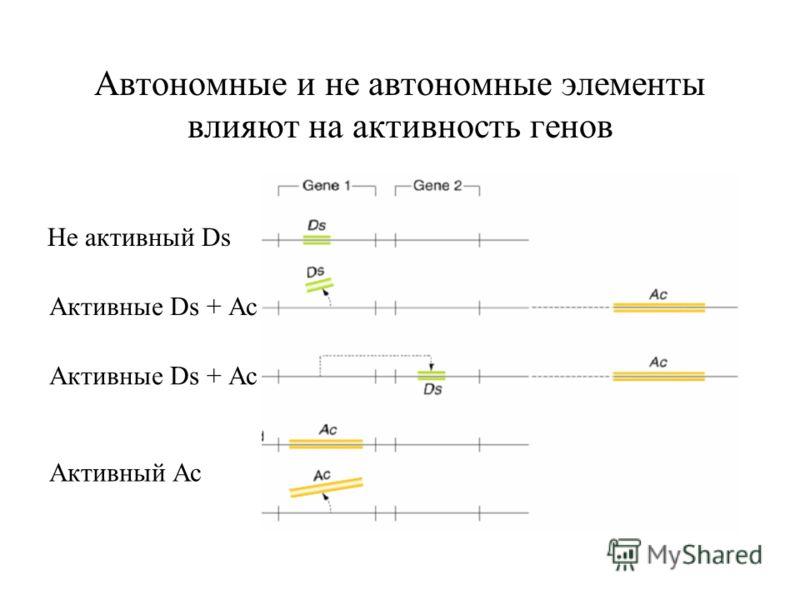 Автономные и не автономные элементы влияют на активность генов Не активный Ds Активные Ds + Ас Активный Ас
