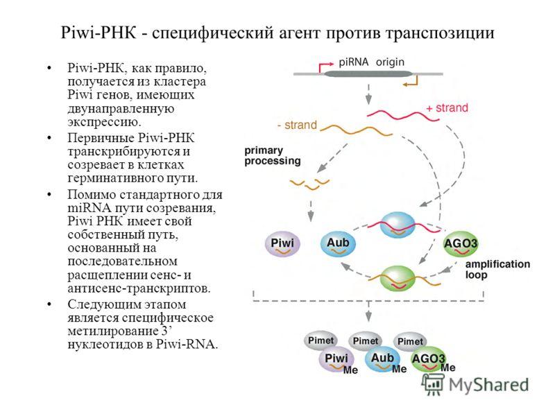 Piwi-РНК - специфический агент против транспозиции Piwi-РНК, как правило, получается из кластера Piwi генов, имеющих двунаправленную экспрессию. Первичные Piwi-РНК транскрибируются и созревает в клетках герминативного пути. Помимо стандартного для mi