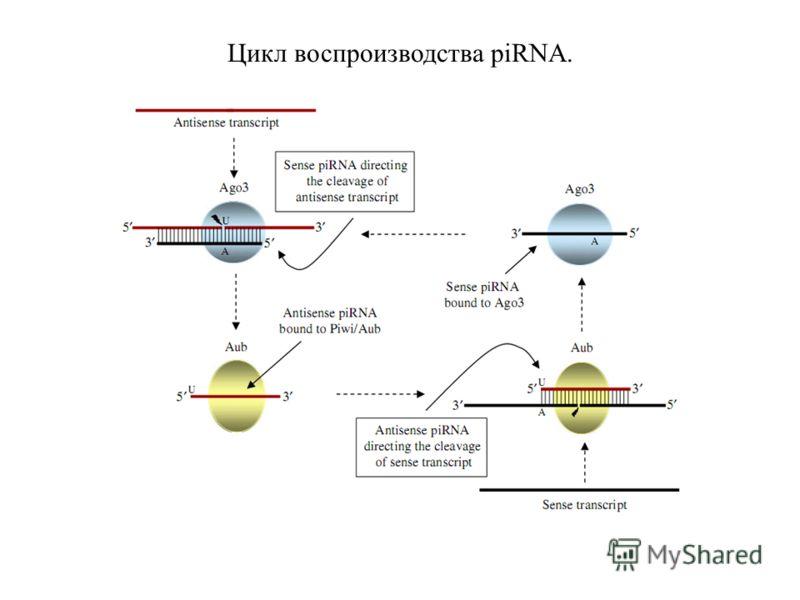 Цикл воспроизводства piRNA.