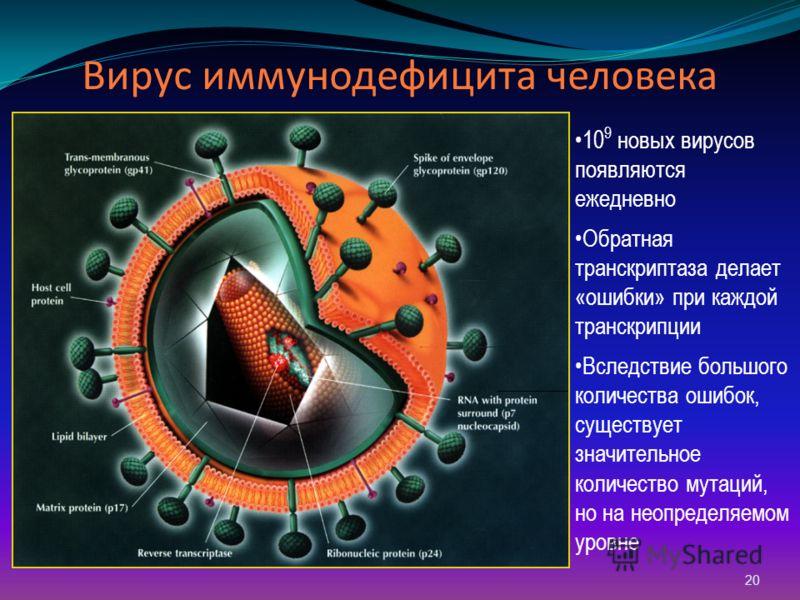20 Вирус иммунодефицита человека 10 9 новых вирусов появляются ежедневно Обратная транскриптаза делает «ошибки» при каждой транскрипции Вследствие большого количества ошибок, существует значительное количество мутаций, но на неопределяемом уровне