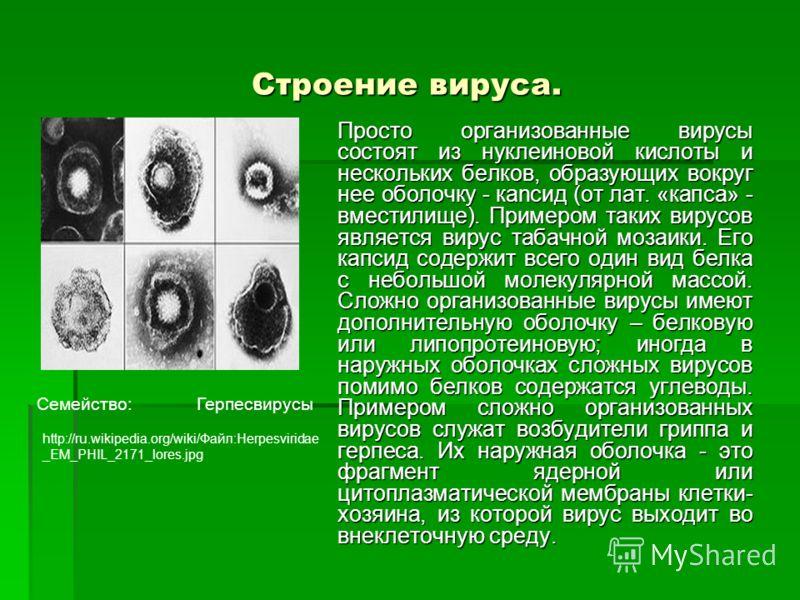 Строение вируса. Просто организованные вирусы состоят из нуклеиновой кислоты и нескольких белков, образующих вокруг нее оболочку - каnсид (от лат. «капса» - вместилище). Примером таких вирусов является вирус табачной мозаики. Его капсид содержит всег