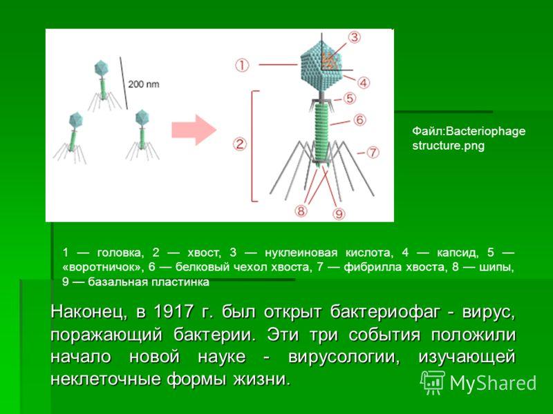 Наконец, в 1917 г. был открыт бактериофаг - вирус, поражающий бактерии. Эти три события положили начало новой науке - вирусологии, изучающей неклеточные формы жизни. Файл:Bacteriophage structure.png 1 головка, 2 хвост, 3 нуклеиновая кислота, 4 капсид