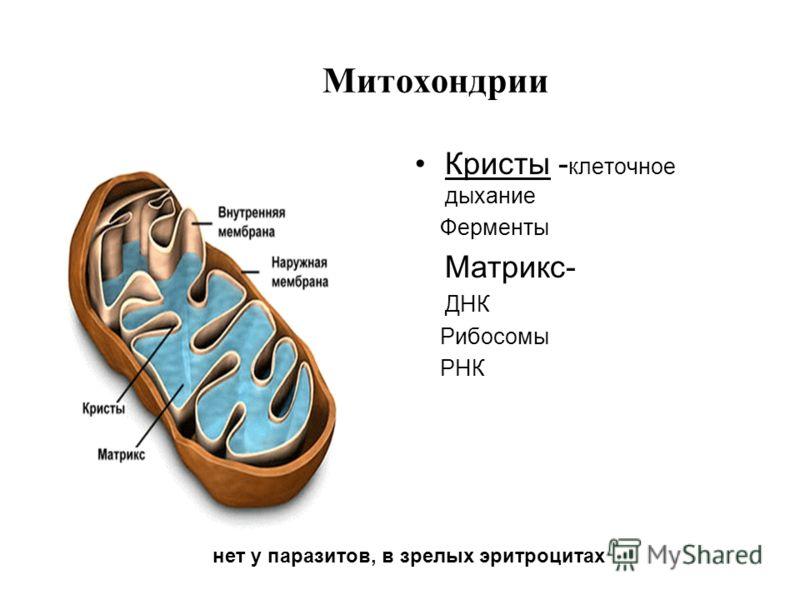 Митохондрии Кристы - клеточное дыхание Ферменты Матрикс- ДНК Рибосомы РНК нет у паразитов, в зрелых эритроцитах