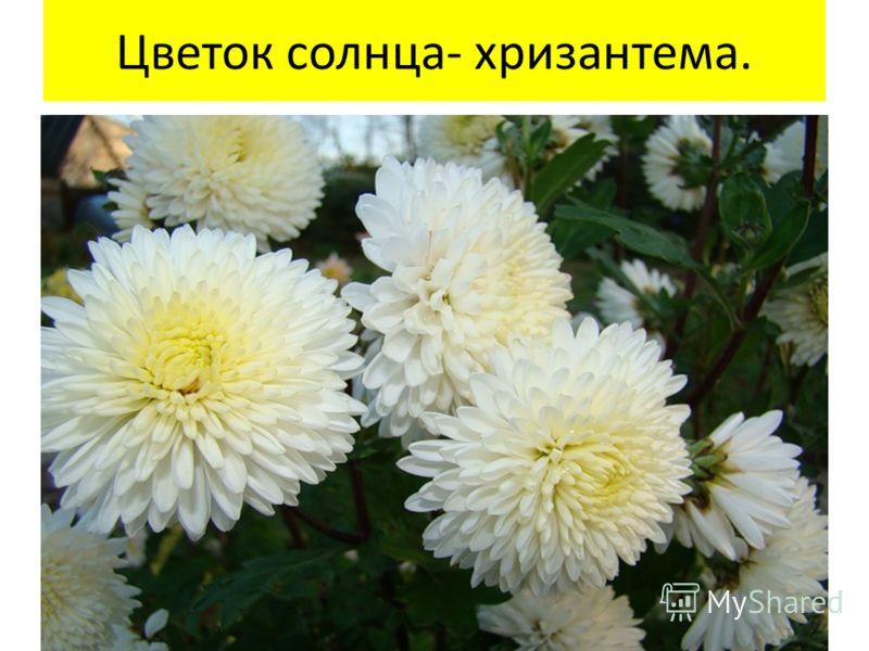 Цветок солнца- хризантема.