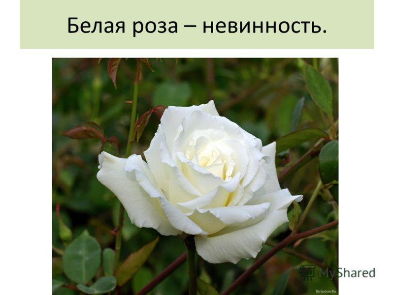 Белая роза – невинность.