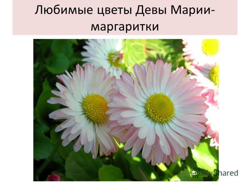 Любимые цветы Девы Марии- маргаритки
