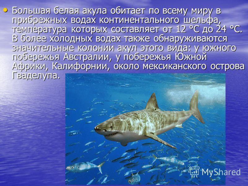 Большая белая акула обитает по всему миру в прибрежных водах континентального шельфа, температура которых составляет от 12 °C до 24 °C. В более холодных водах также обнаруживаются значительные колонии акул этого вида: у южного побережья Австралии, у