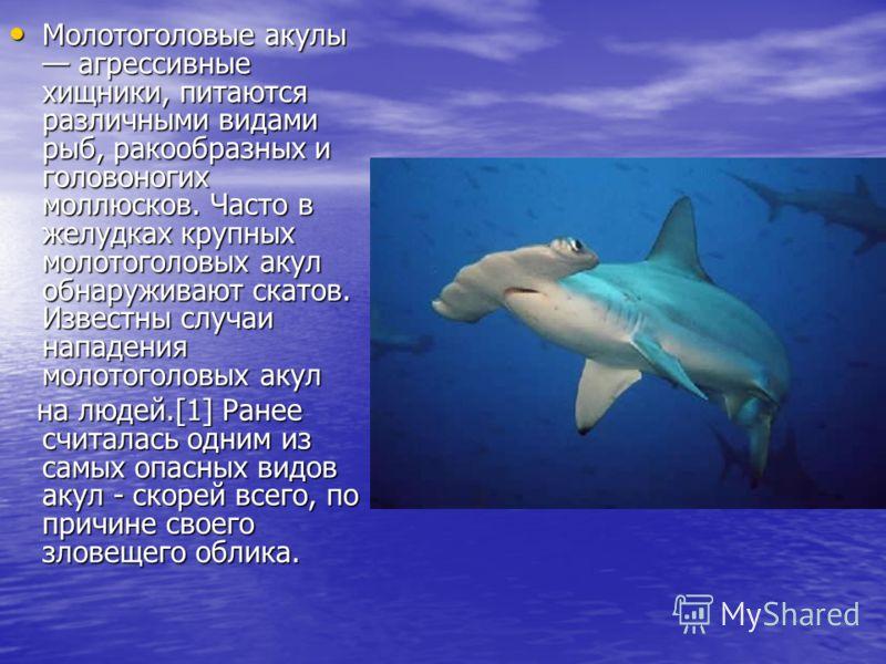 Молотоголовые акулы агрессивные хищники, питаются различными видами рыб, ракообразных и головоногих моллюсков. Часто в желудках крупных молотоголовых акул обнаруживают скатов. Известны случаи нападения молотоголовых акул Молотоголовые акулы агрессивн