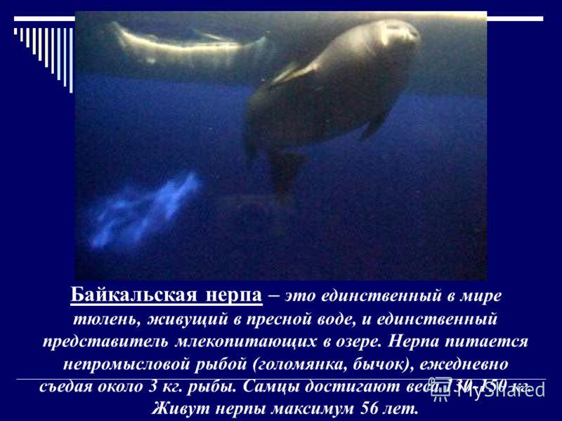 Байкальская нерпа – это единственный в мире тюлень, живущий в пресной воде, и единственный представитель млекопитающих в озере. Нерпа питается непромысловой рыбой (голомянка, бычок), ежедневно съедая около 3 кг. рыбы. Самцы достигают веса 130-150 кг.