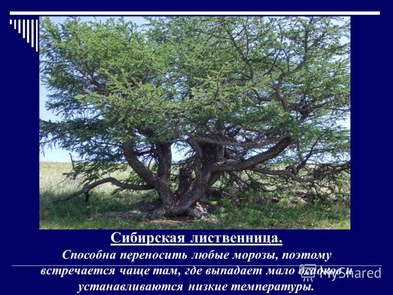 Сибирская лиственница. Способна переносить любые морозы, поэтому встречается чаще там, где выпадает мало осадков и устанавливаются низкие температуры.