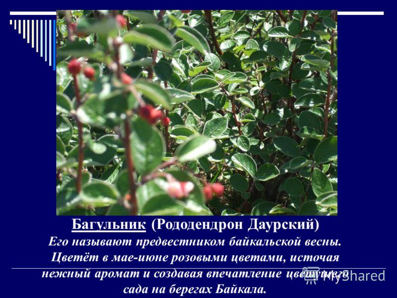 Багульник (Рододендрон Даурский) Его называют предвестником байкальской весны. Цветёт в мае-июне розовыми цветами, источая нежный аромат и создавая впечатление цветущего сада на берегах Байкала.