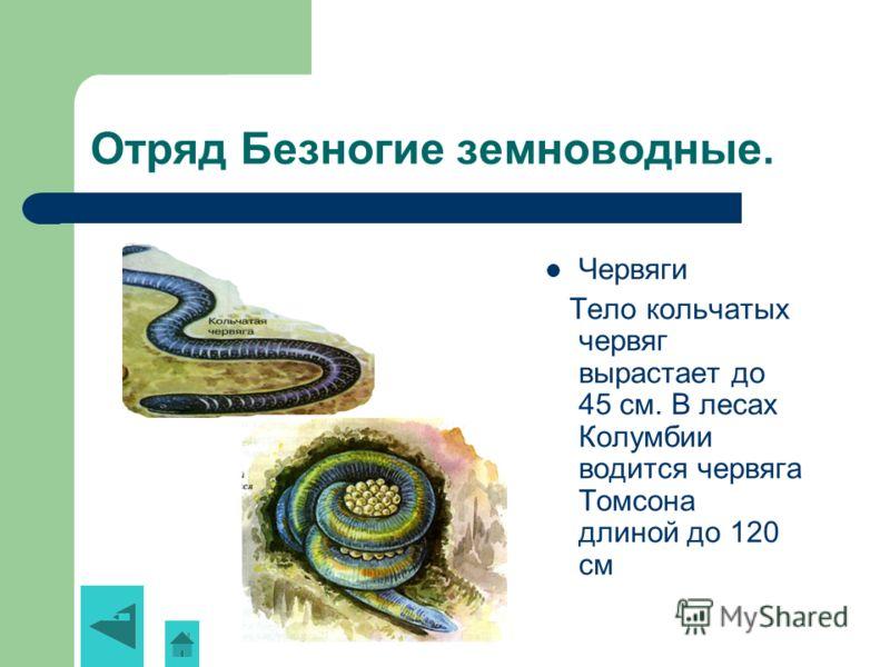Отряд Безногие земноводные. Червяги Тело кольчатых червяг вырастает до 45 см. В лесах Колумбии водится червяга Томсона длиной до 120 см