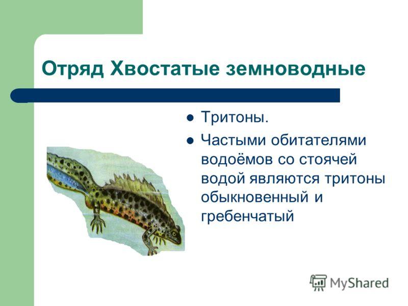 Отряд Хвостатые земноводные Тритоны. Частыми обитателями водоёмов со стоячей водой являются тритоны обыкновенный и гребенчатый