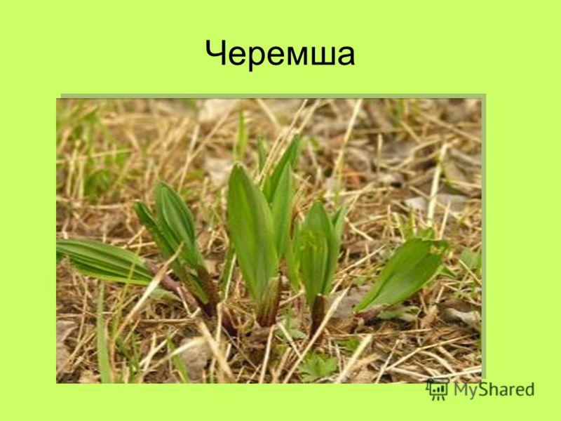 Черемша