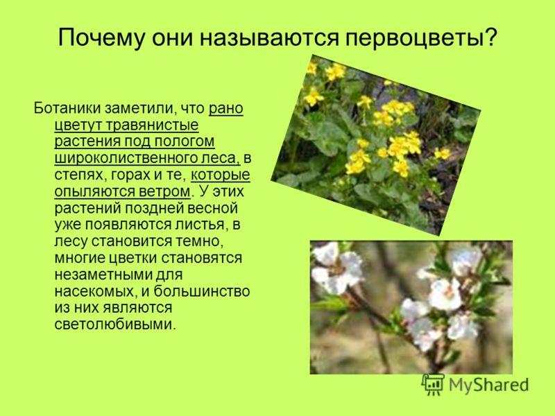 Почему они называются первоцветы? Ботаники заметили, что рано цветут травянистые растения под пологом широколиственного леса, в степях, горах и те, которые опыляются ветром. У этих растений поздней весной уже появляются листья, в лесу становится темн