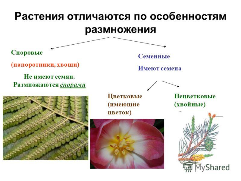 Растения отличаются по особенностям размножения Споровые (папоротники, хвощи) Не имеют семян. Размножаются спорами Семенные Имеют семена Цветковые (имеющие цветок) Нецветковые (хвойные)
