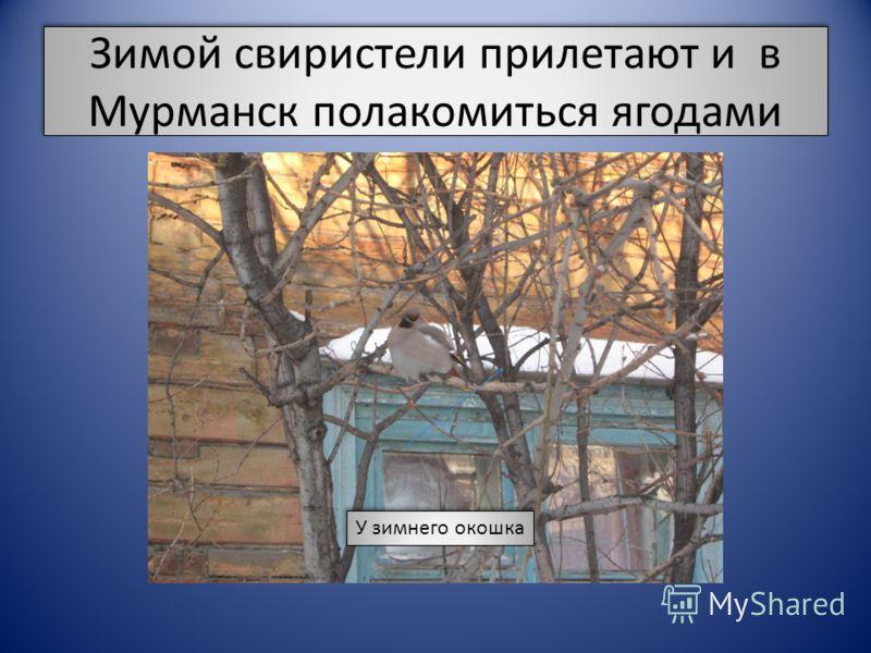 Зимой свиристели прилетают и в Мурманск полакомиться ягодами У зимнего окошка