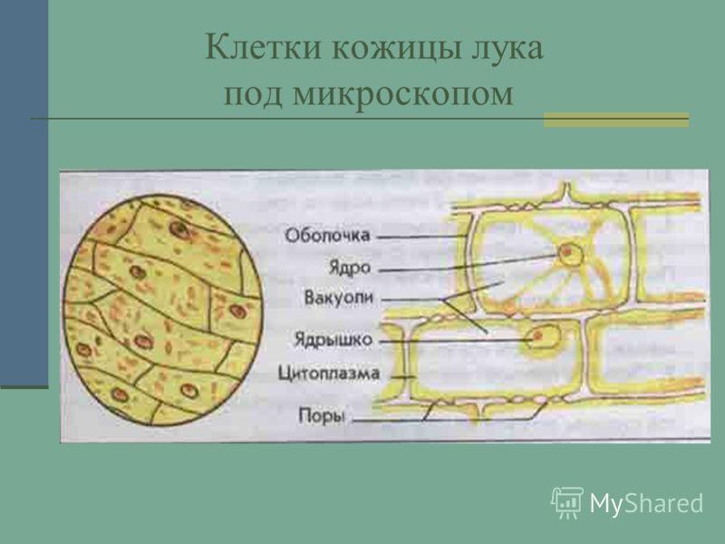 Клетки кожицы лука под микроскопом