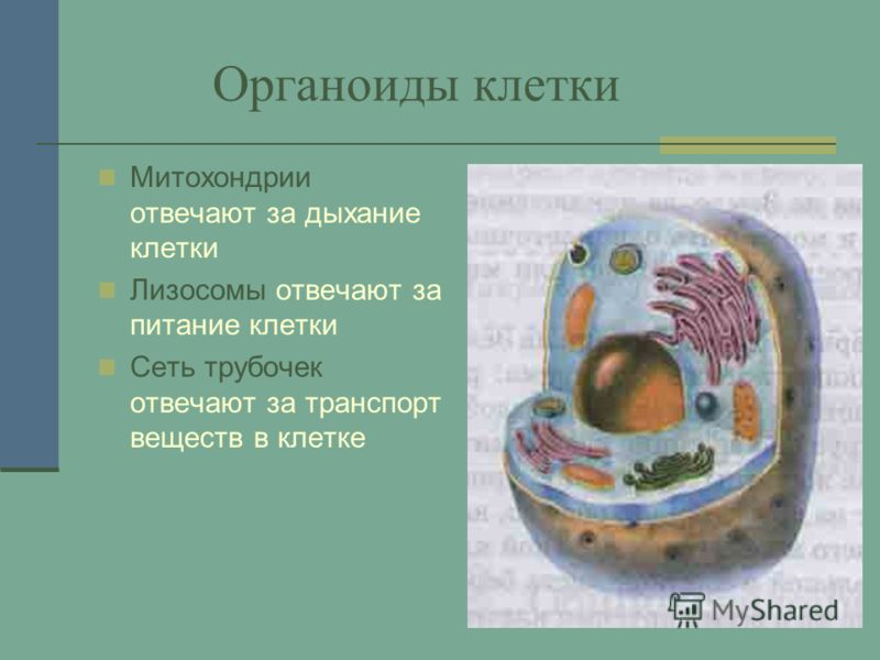Органоиды клетки Митохондрии отвечают за дыхание клетки Лизосомы отвечают за питание клетки Сеть трубочек отвечают за транспорт веществ в клетке