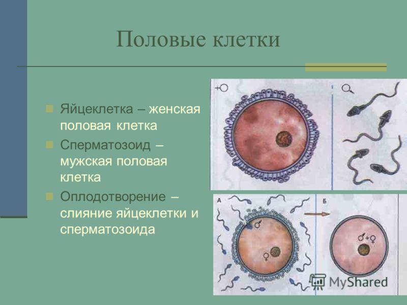 Половые клетки Яйцеклетка – женская половая клетка Сперматозоид – мужская половая клетка Оплодотворение – слияние яйцеклетки и сперматозоида