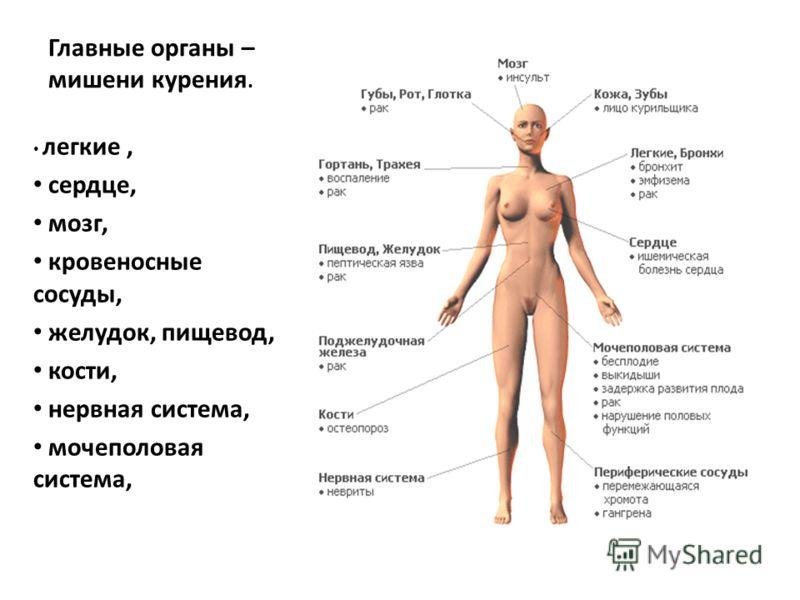 Главные органы – мишени курения. легкие, сердце, мозг, кровеносные сосуды, желудок, пищевод, кости, нервная система, мочеполовая система,