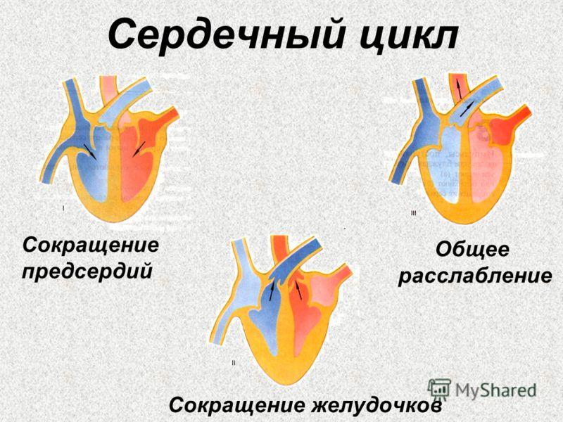 Сердечный цикл Сокращение предсердий Сокращение желудочков Общее расслабление
