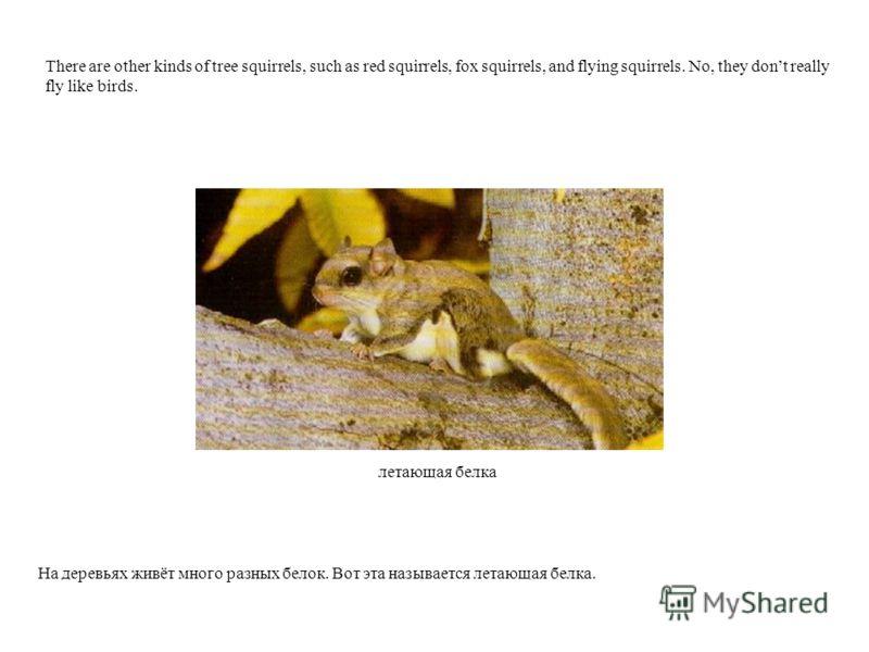 летающая белка На деревьях живёт много разных белок. Вот эта называется летающая белка. There are other kinds of tree squirrels, such as red squirrels, fox squirrels, and flying squirrels. No, they dont really fly like birds.