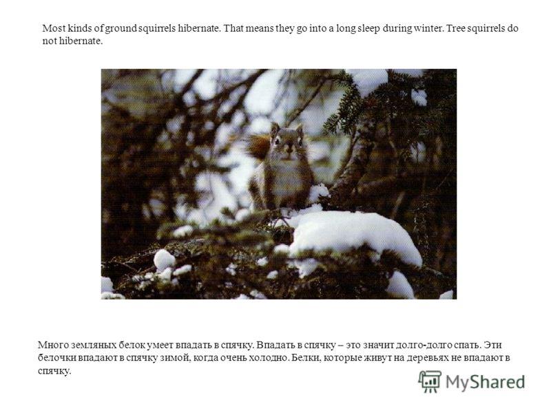 Много земляных белок умеет впадать в спячку. Впадать в спячку – это значит долго-долго спать. Эти белочки впадают в спячку зимой, когда очень холодно. Белки, которые живут на деревьях не впадают в спячку. Most kinds of ground squirrels hibernate. Tha