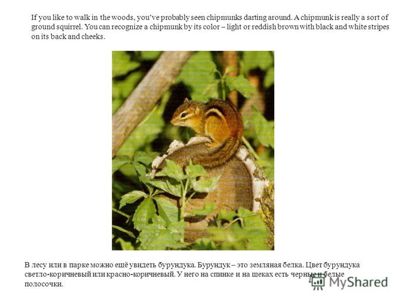 В лесу или в парке можно ещё увидеть бурундука. Бурундук – это земляная белка. Цвет бурундука светло-коричневый или красно-коричневый. У него на спинке и на щеках есть черные и белые полосочки. If you like to walk in the woods, youve probably seen ch