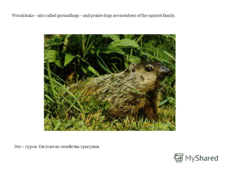 Это – сурок. Он тоже из семейства грызунов. Woodchuks – also called groundhogs – and prairie dogs are members of the squirrel family.