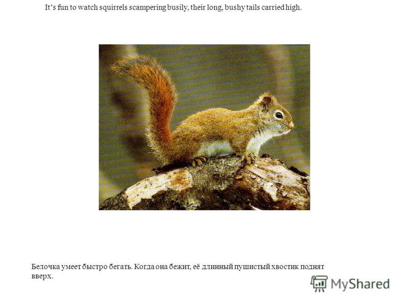 Its fun to watch squirrels scampering busily, their long, bushy tails carried high. Белочка умеет быстро бегать. Когда она бежит, её длинный пушистый хвостик поднят вверх.