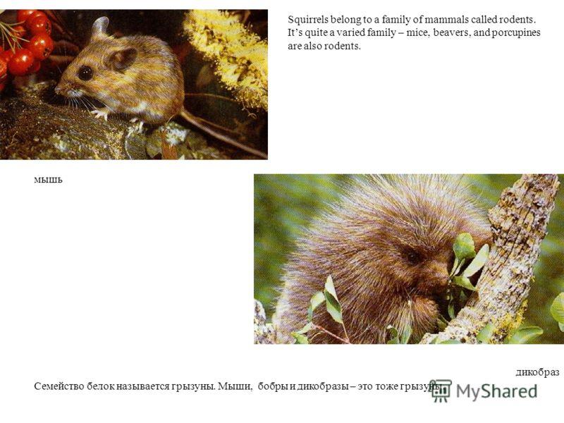 мышь дикобраз Squirrels belong to a family of mammals called rodents. Its quite a varied family – mice, beavers, and porcupines are also rodents. Семейство белок называется грызуны. Мыши, бобры и дикобразы – это тоже грызуны.