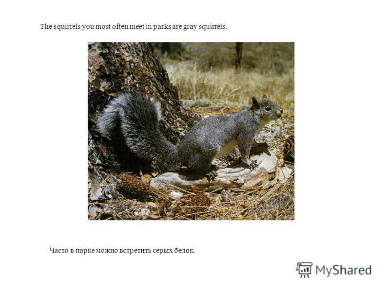 Часто в парке можно встретить серых белок. The squirrels you most often meet in parks are gray squirrels.